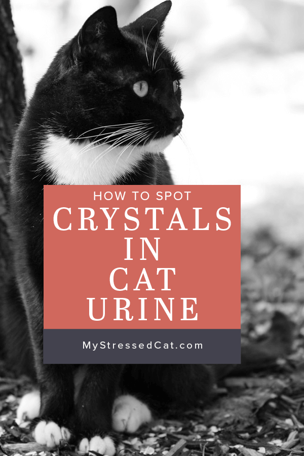Crystals in Cat Urine Early Warning Signs