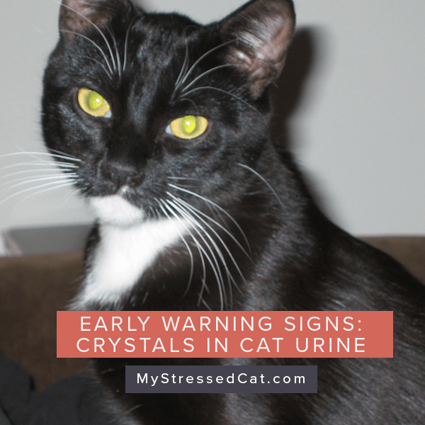 How to spot early warning signs of crystals in cat urine